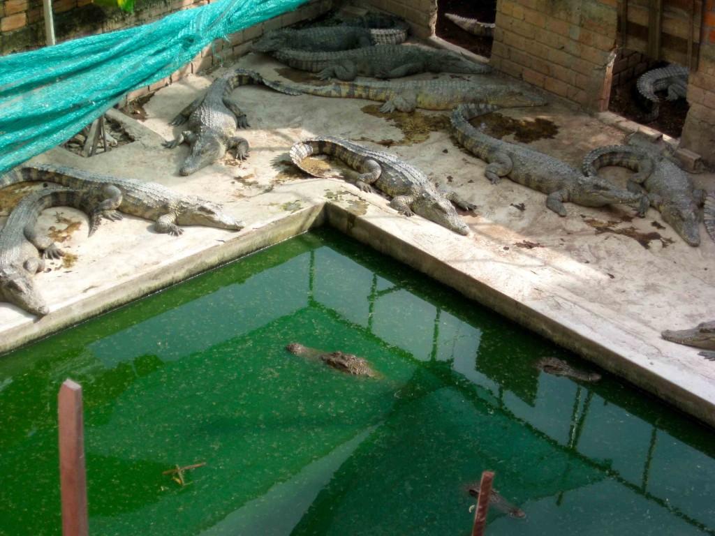 Crocodiles in Cambodia