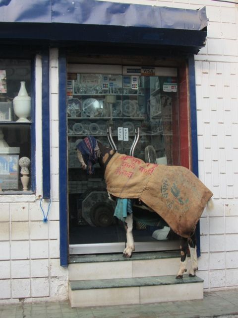 Goat in Agra wearing burlap sack.
