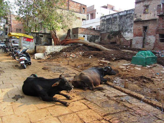 Trash cows in Varanasi