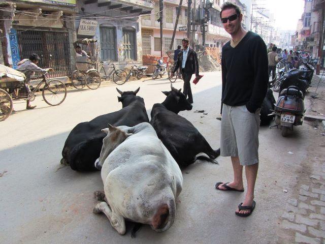 Street cows of Varanasi