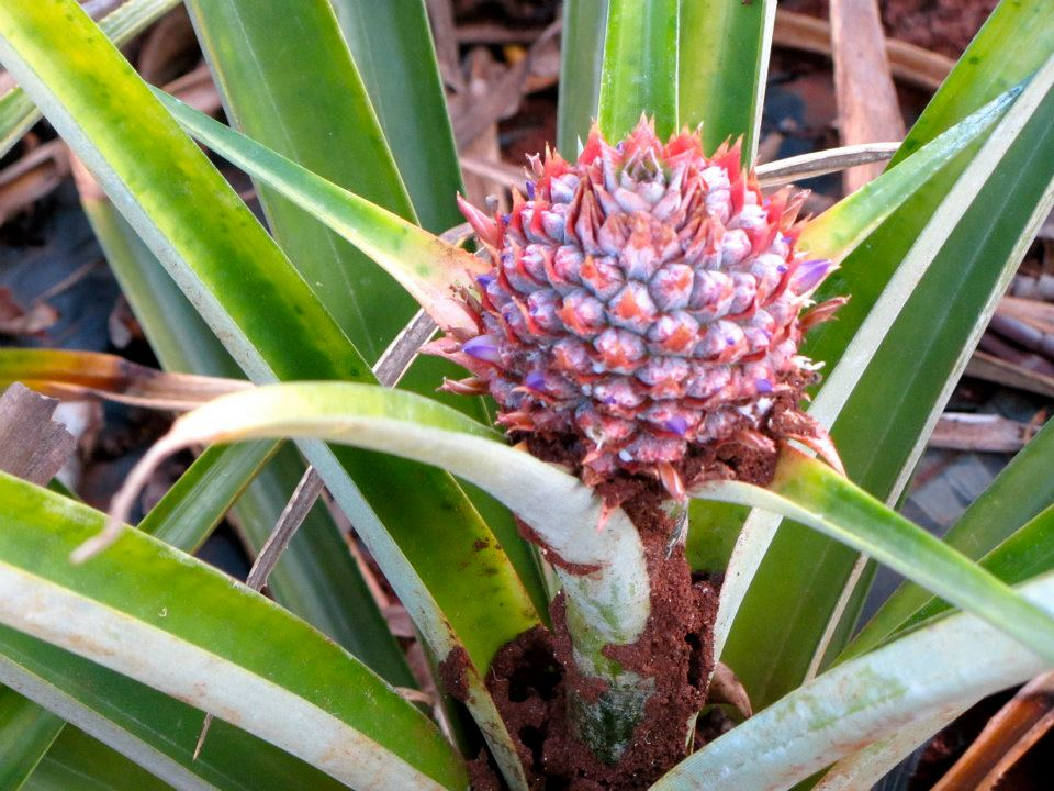 One of 120 varieties of pineapple.