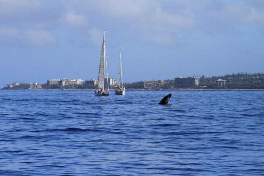 baby humpback in Lahaina