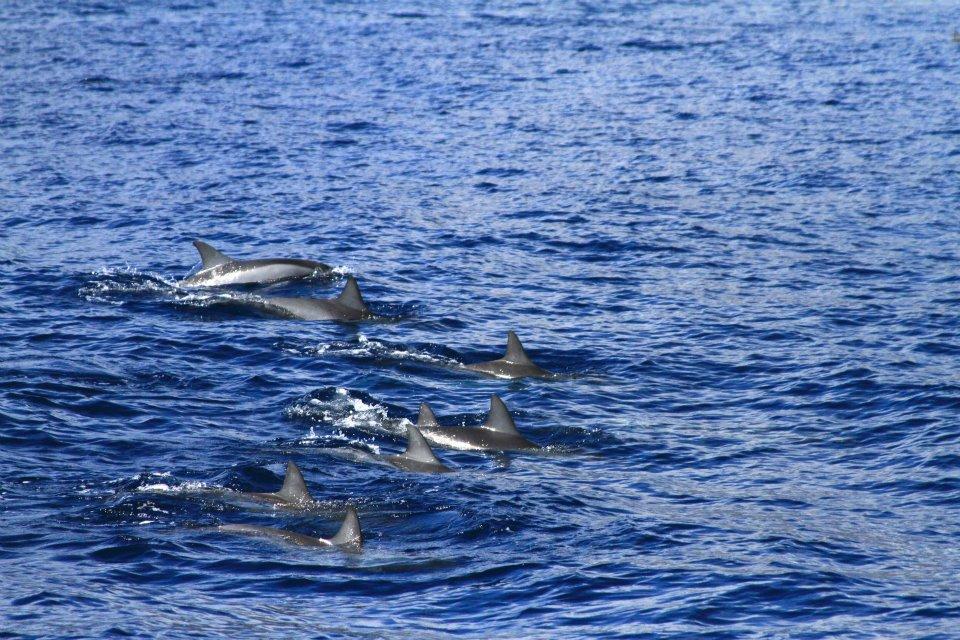Spinner dolphin fins