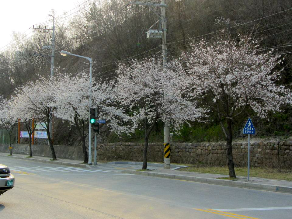 Cherry blossoms Yeongwol Korea