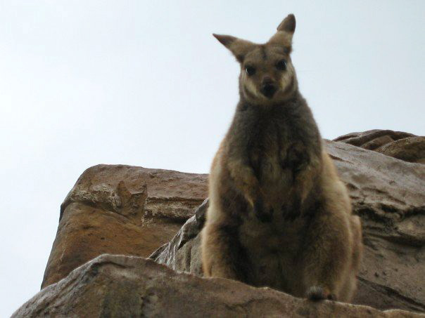 Angry wallaby