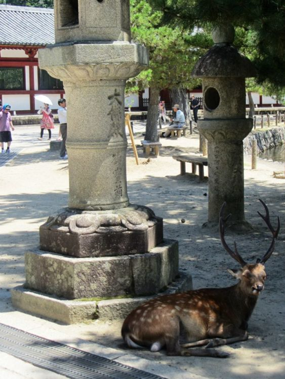 Busted-up deer in Nara, Japan