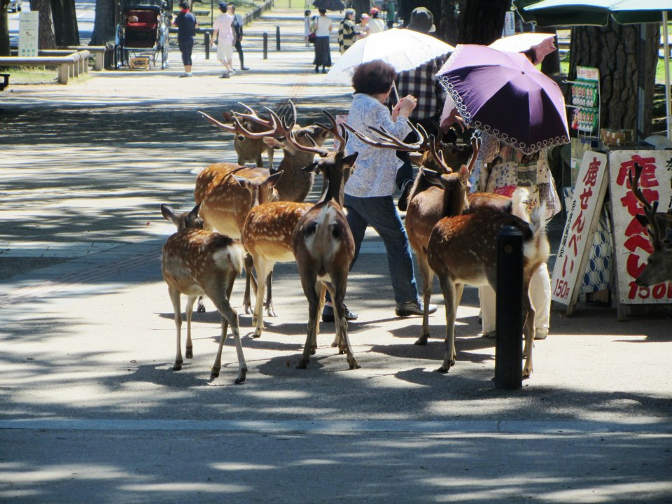 Deer converge on a woman in Nara, Japan