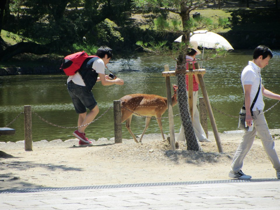 Tourist chasing deer for a photo - Japan