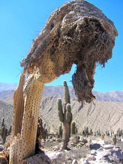 Dead cactus in Tilcara