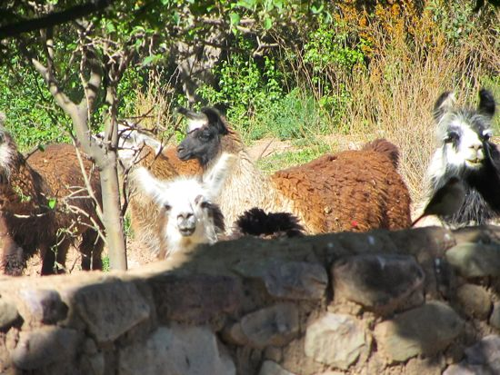 Llamas in Tilcara, Argentina