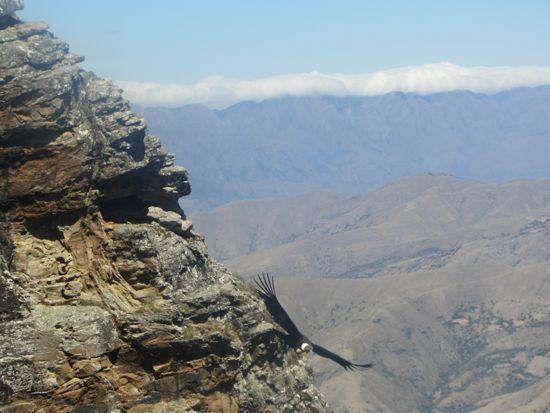 Condor in Bolivia