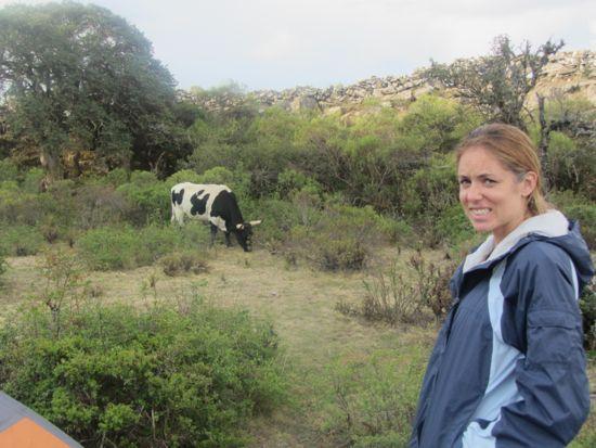 Cows in Bolivia