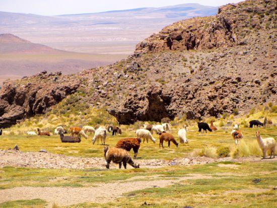Llama Valley in Bolivia