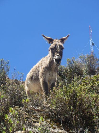 Angry donkey on Isla del Sol, Bolivia, Lake Titicaca