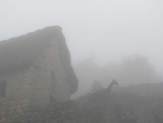 Llamas in the Mist, Machu PIcchu