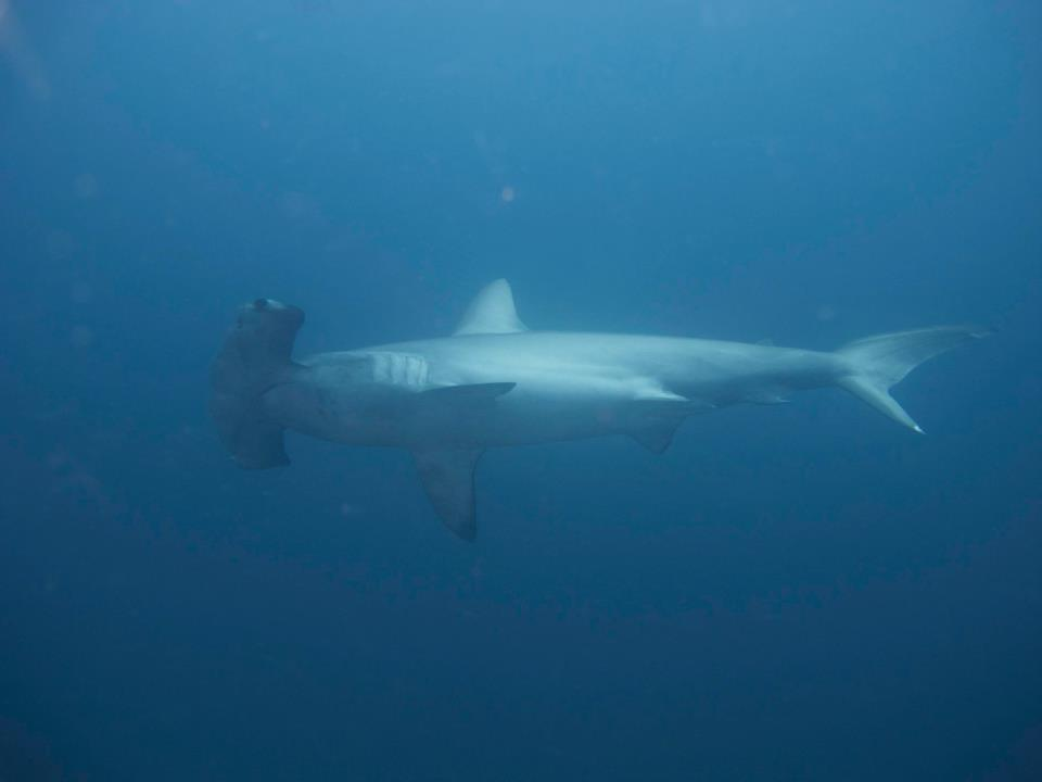 Hammerhead in the Galapagos
