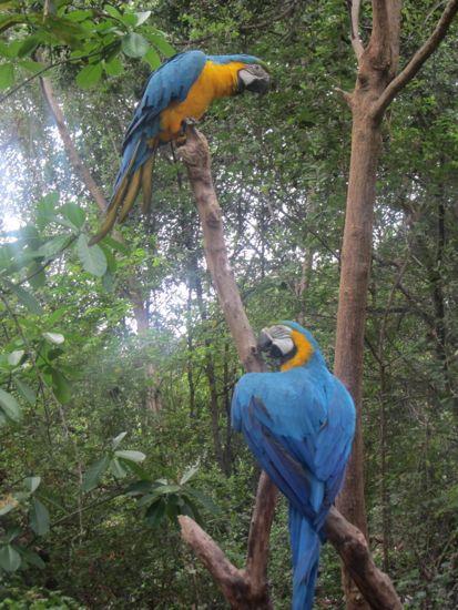 Macaws in Ecuador