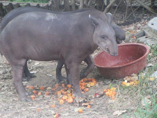 Tapir in Ecuador