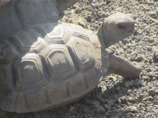 Baby tortoise, Galapagos