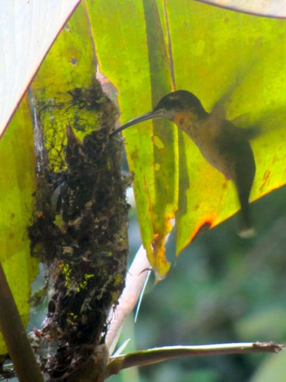 Hummingbird in the Amazon