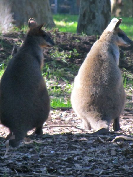 Wallaby friends