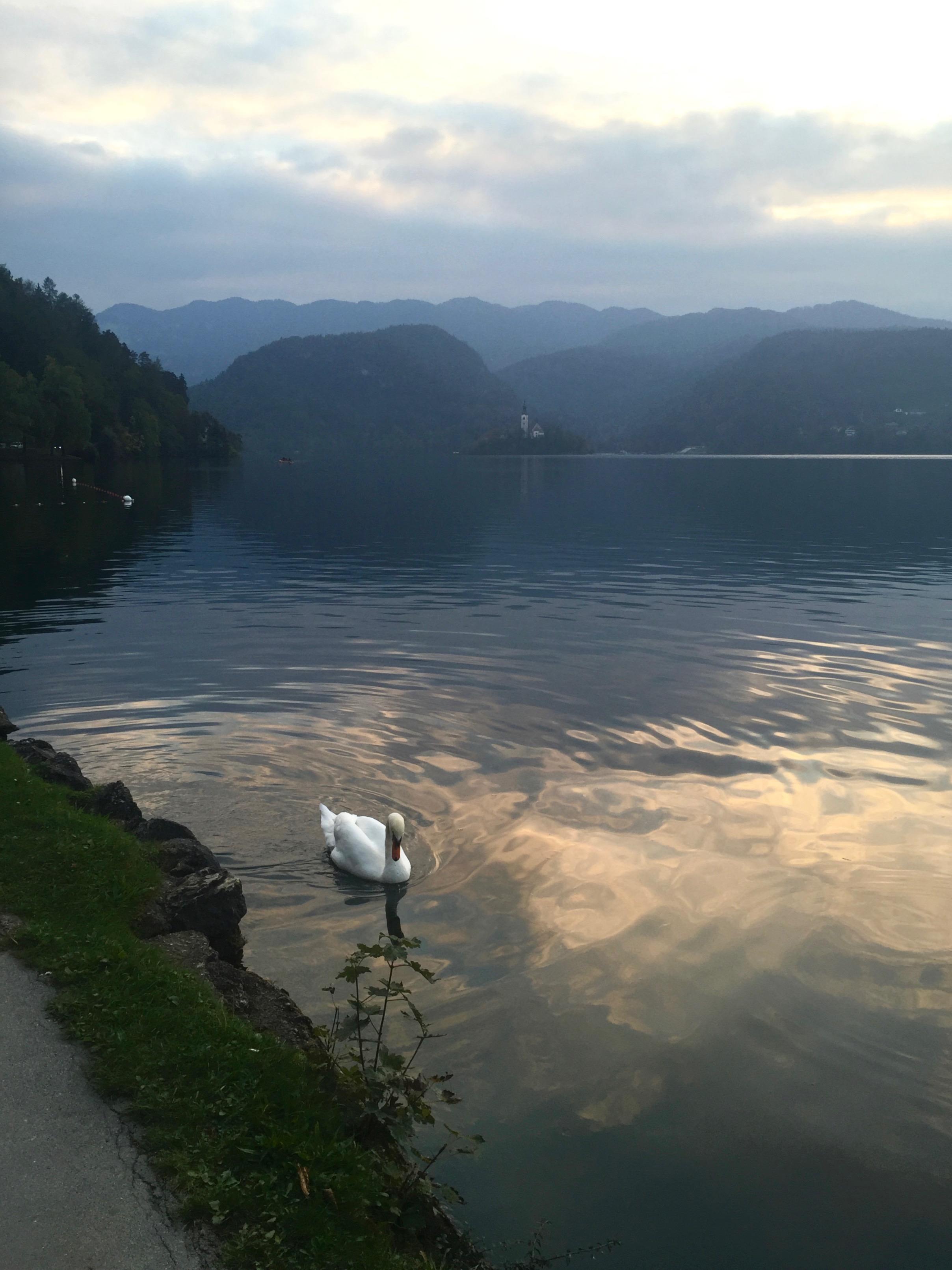 Swan at Lake Bled