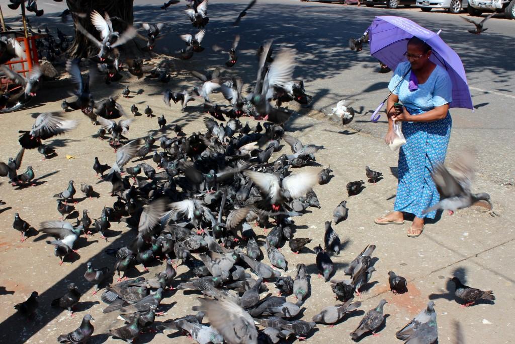 Pigeon feeding Yangon