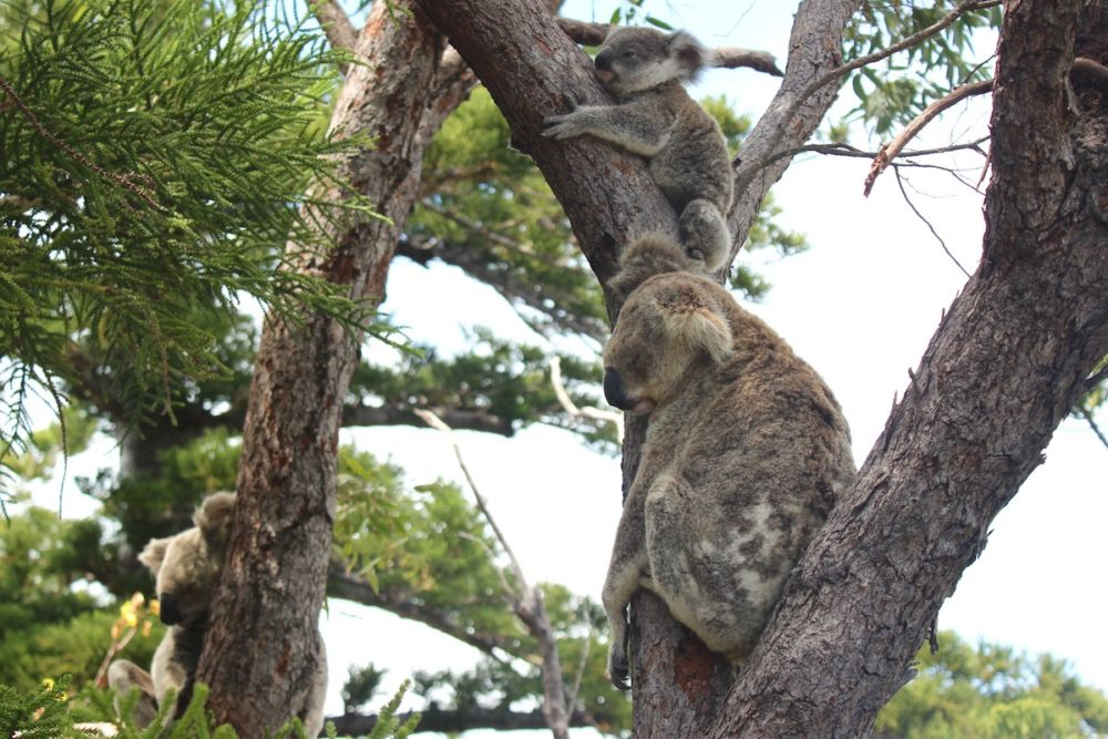 Baby koala and parents