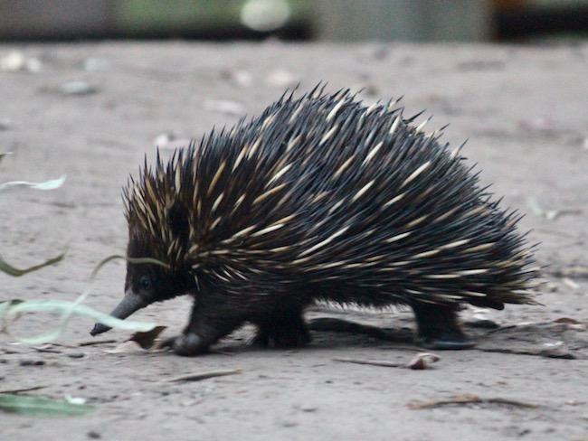 australian echidna