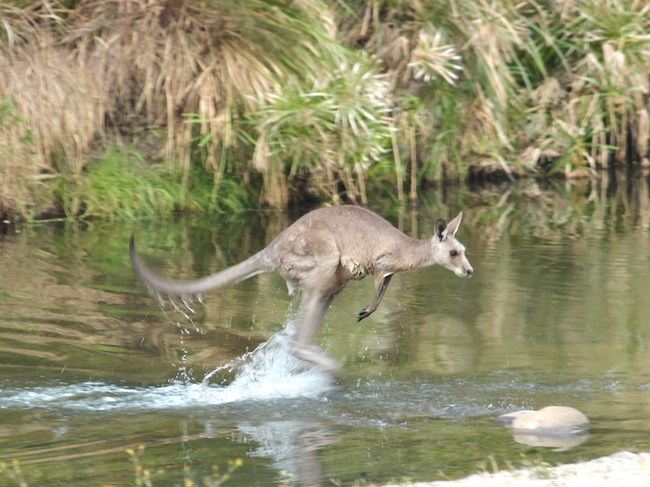 kangaroo jumping in water