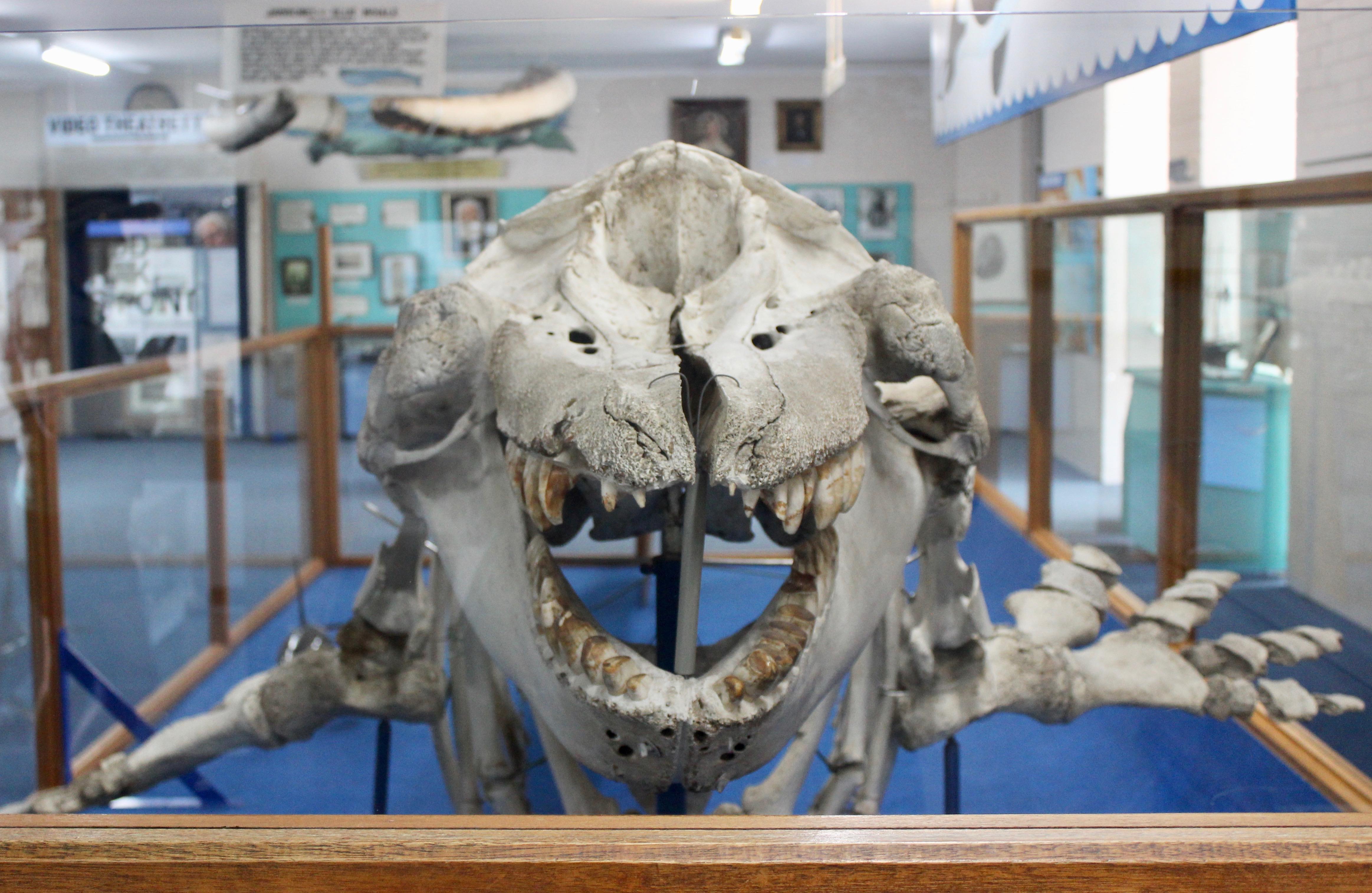 Whale skeleton Eden