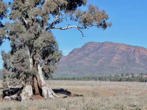 Flinders famous tree