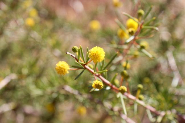yellow flower uluru