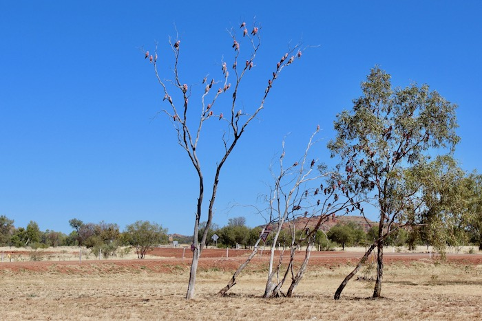Colorful galahs in trees