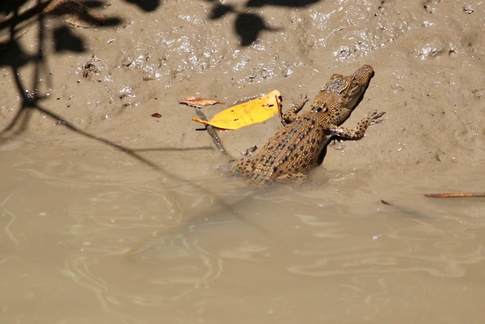tiny crocodile