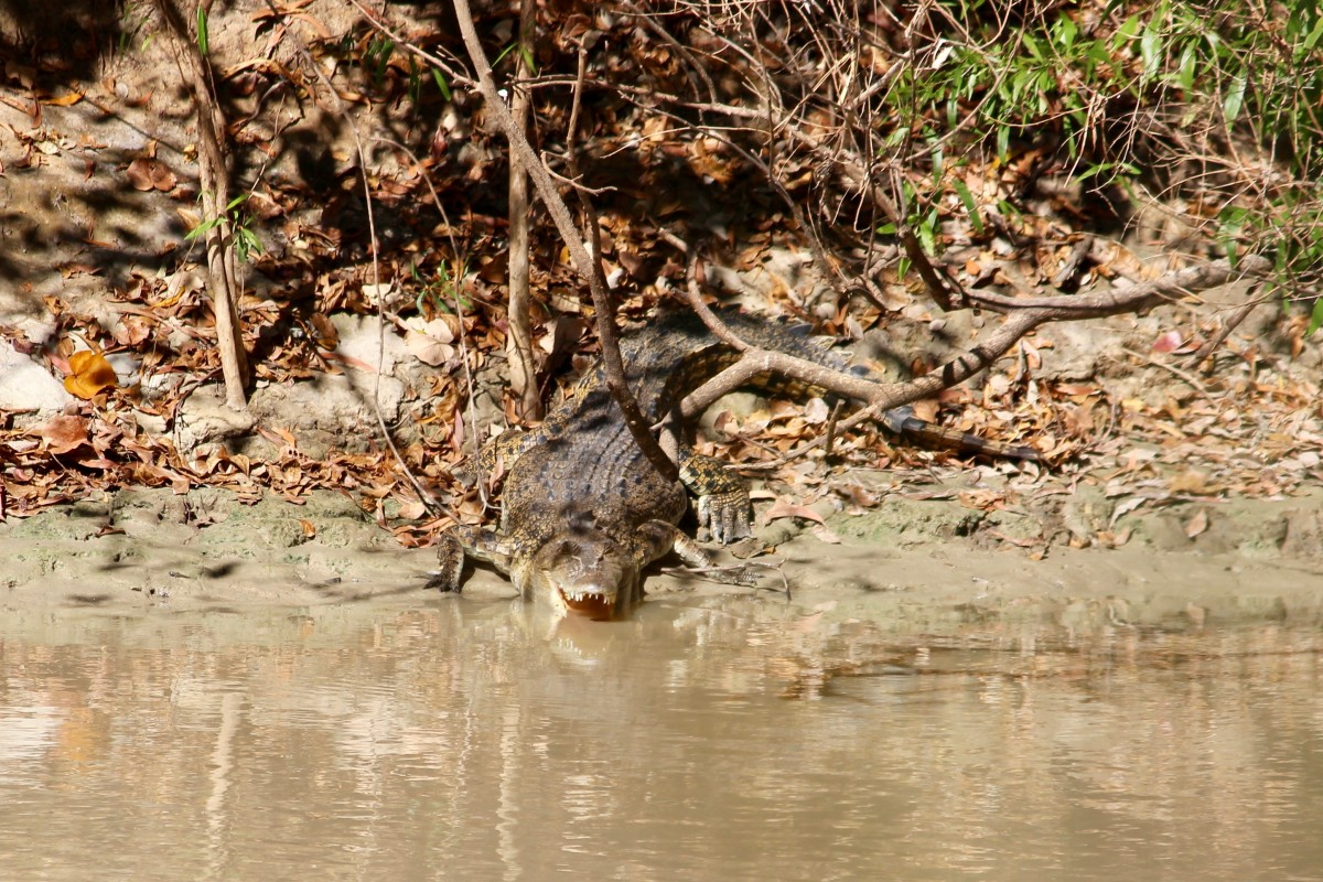 Saltwater crocodile in the Northern Territory
