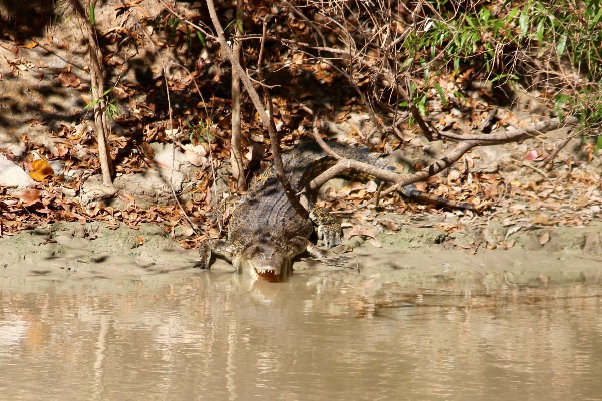 Saltwater crocodile in the Northern Territory