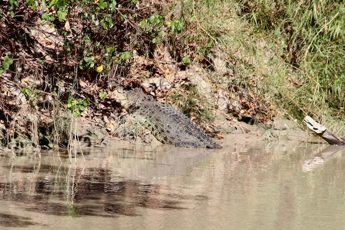 Big salty croc resting on the banks at Cahills Crossing