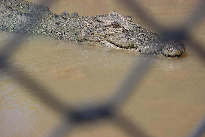 Crocodile through a fence