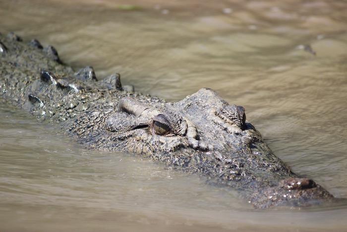 Crocodile eyes up close