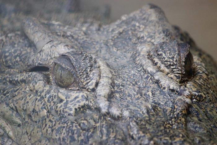 Croc head up close