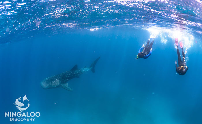 Couple swim with whale shark