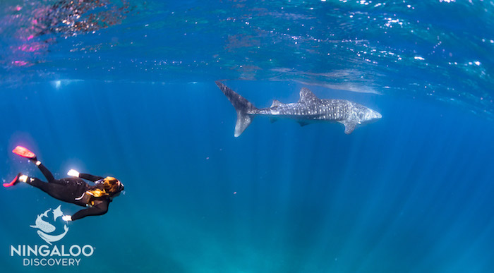 swimming with a whale shark