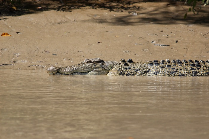 Croc on river bank