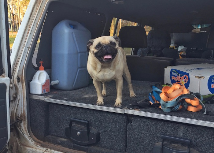 Pug smiling from the backseat of Nissan Patrol
