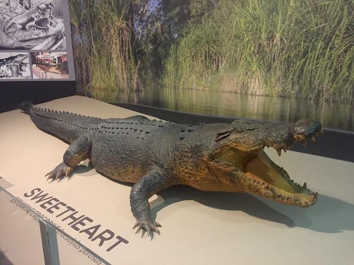 Stuffed crocodile at NT museum