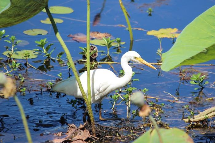 White bird in Mamukala wetlands in Kakadu National Park