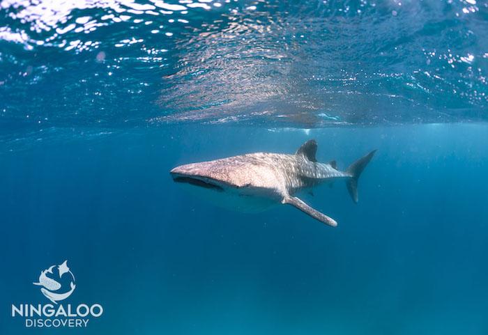 whale shark head