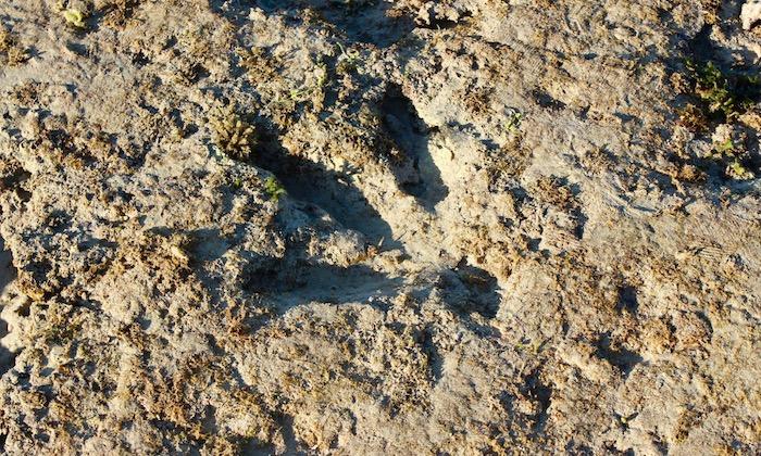 Dinosaur print Gantheaume point