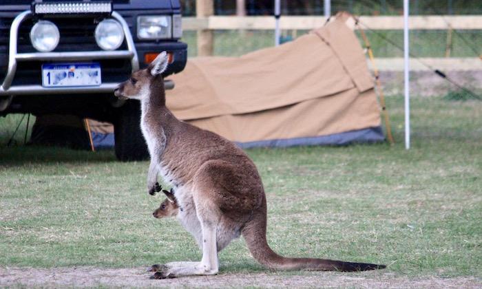 Australian camping kangaroo